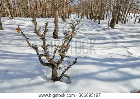 forest snow covered in the Nebrodi Mountains of Sicily natural landmark