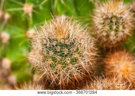 Close Up Of Globe Shaped Cactus With Long Thorns. Closeup Green Cactus With Texture Brown Spiny Need