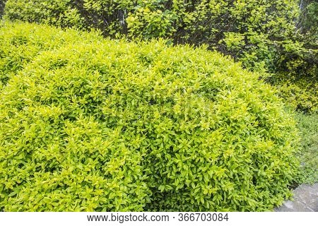 Light Green Round Bush. Round Trimmed Bushes In The Park, Green Hedge. Evergreen Shrubs.
