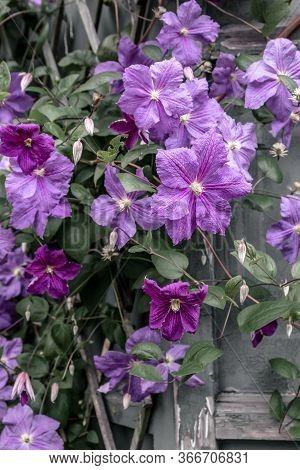 Purple Clematis Blossom. Flowers In The Summer Garden.
