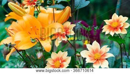 Lilly Orange Fresh Flowers Growing In Green Garden, Web Banner Format