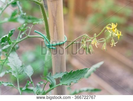 Bamboo Stake With Flexible Twist Tie And Green Cluster Tomatoes Flowers Young Fruits On Main Stem