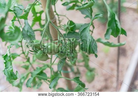 Vigorous Cluster Tomatoes On Vines With Bamboo Stake At Backyard Garden Near Dallas, Texas, Usa