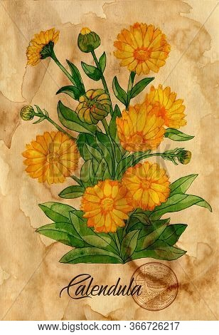 Calendula Flower With Magic Seal On Old Paper Texture Background. Witch Healing Herbs Collection For