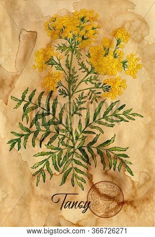 Tansy Flower With Magic Seal On Old Paper Texture Background. Witch Healing Herbs Collection For Hal