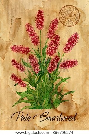 Pale Smartweed Flower With Magic Seal On Old Paper Texture Background. Witch Healing Herbs Collectio