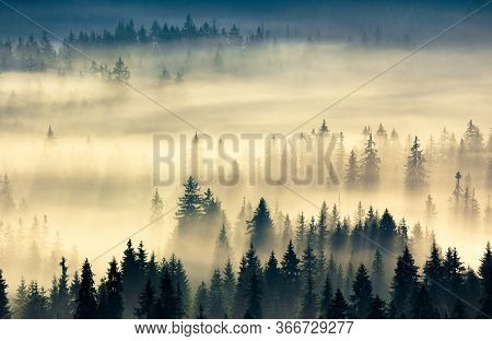 Glowing Fog In The Valley At Sunrise. Mysterious Nature Phenomenon Above The Coniferous Forest. Spru