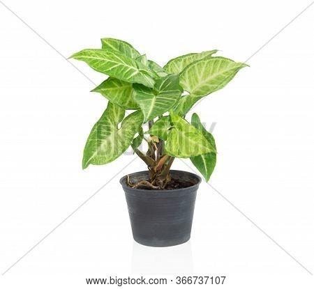Fresh Green Arrowhead Vine Plant (syngonium Podophyllum) In Black Pot Isolated On White Background