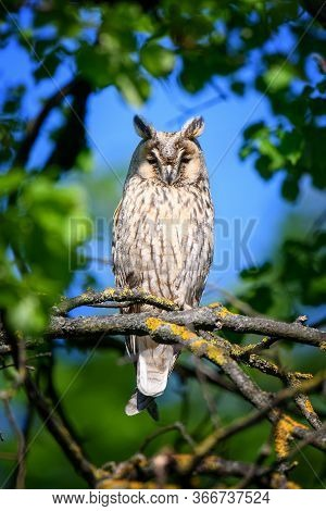 Long-eared Owl Owl In The Wood, Sitting On Tree Trunk In The Forest Habitat
