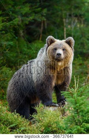 Big Brown Bear In The Forest. Dangerous Animal In Natural Habitat. Wildlife Scene