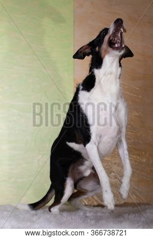 Dog Black And White Jumping With Background Of Light Colors