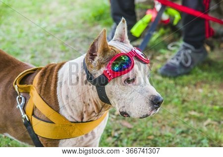 Beautiful Female Amstaff, Fashionable With Fashion Glasses To Protect Sick Eyes