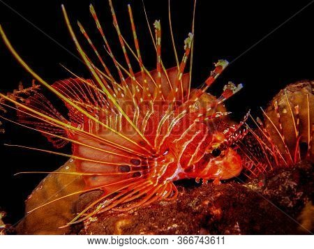 It Called Lion Fish, Taken In Tulamben Bali Indonesia, This Lion Fish Is The Venomous Animal Underwa