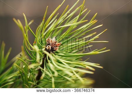 Macro Shooting Of Conifers, The Emergence Of New Cones, Flowering Conifers.