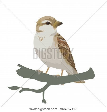 Realistic Sparrow Sitting On A Branch. Colorful Vector Illustration Of Little Female Bird Sparrow In