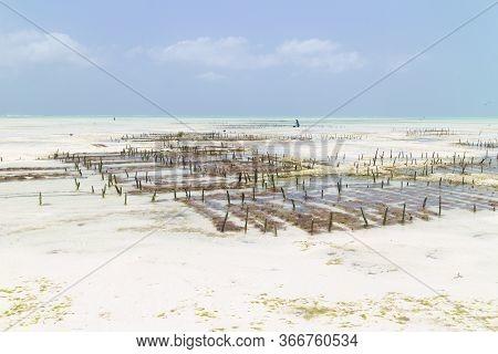 Rows Of Seaweed On A Seaweed Farm, Paje, Zanzibar Island, Tanzania