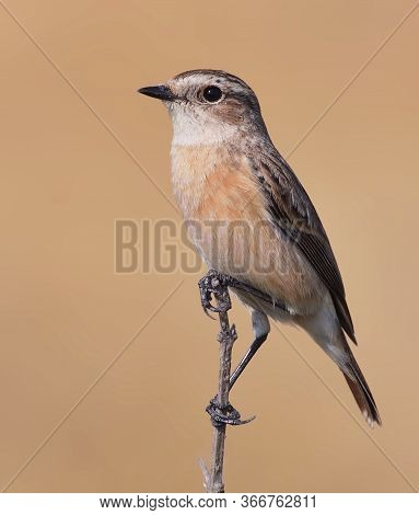 The Siberian Stone Chat Or Asian Stone Chat Is A Recently Validated Species Of The Old World Flycatc