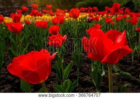 Yellow And Red Tulips Growing On The Field On A Sunny Day. Spring Background With Beautiful Yellow A