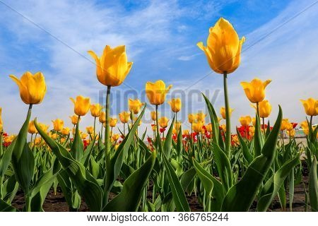 Yellow Tulips Growing On A Field Against Blue Sky. Yellow Tulip Field. Spring Background With Beauti