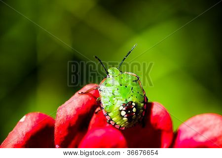 Southern green stink bug larva on red flower