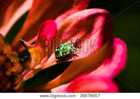 Southern green stink bug (Nezara viridula) larva on red flower