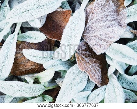 Leaves On The Ground With Frost In Winter. Frost On The Leaf And Grass. Autumn Leaves Covered With F