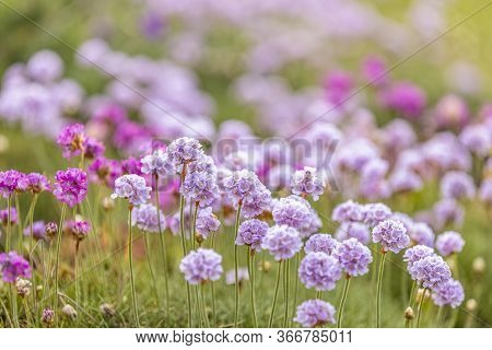 Beautiful Magical Nature Background With Blooming Pink Flowers And Sunbeam With Copy Space, Soft Foc