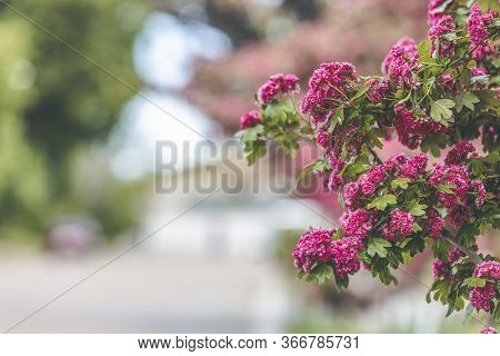 Spring Background Art With Beautiful Pink Hawthorn Blossom At The Beautiful Bokeh. Beautiful Spring