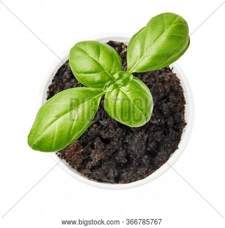 Basil Plant Planted In A Pot. Basil Leaves Isolated On White Background