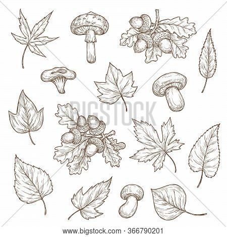 Autumn Leaves, Mushrooms And Acorns Vector Sketch Icons. Maple, Oak And Willow, Birch And Ash, Popla