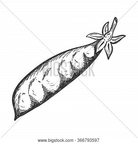 Pea Pod. Doodle Style. Sketch Of A Legume Plant. Closed Pod With Peas Inside. Hand-drawn, Isolated O