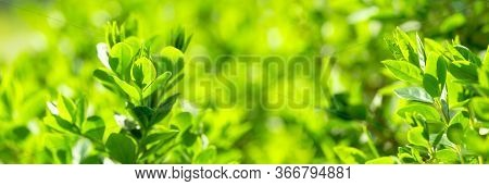 Beautiful Nature In Spring, Young Spring Leaves Lit By Sunlight