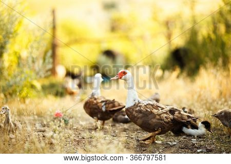 A Flock Of Domestic Geese. Geese Walking On Ground. Domestic Bird. Duck And Goose. Several Ducks And