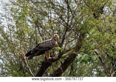 Tawny Eagle Or Aquila Rapax Feasting On Spiny Tailed Lizard Or Uromastyx Kill In His Claws Perched O