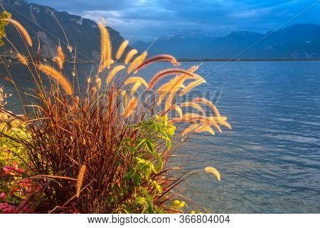 Tranquil Sunset Lake Geneva, Switzerland With Reed Flowers, Glowing In Sunlight, Mountains View