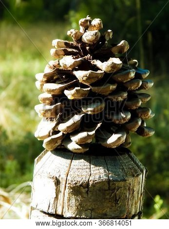 Close Up Of Pinecone. Nature Concept Outdoor.