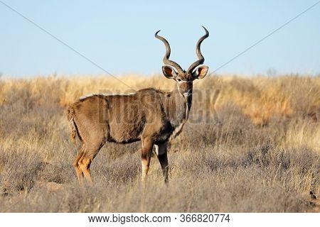 Male kudu antelope (Tragelaphus strepsiceros) in natural habitat, South Africa