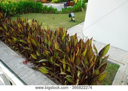 A Plant With Green And Brown Shaded Large Leaves In Backyard. Scenic View Of Landscaped Path With Pl