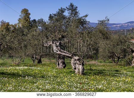 Agriculture. Olive Grove Growing With Old Clipped Trees And Flower Carpet On A Sunny, Spring Day(gre