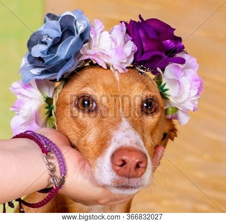 Dog Brown Posing With Flowers In Head Background Of Light Colors