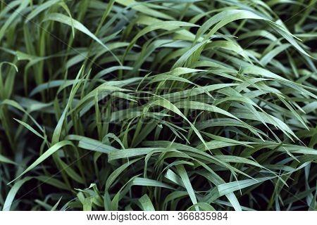 Grass Under The Wind In The Background Field. Green Summer Grass Before A Summer Thunderstorm.