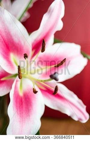 White And Pink Oriental Mero Star Lilly Bloomed Flower Close Up Macro Shot