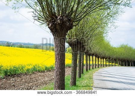 A Line Of Traditionally Cut Willow Trees In Scania, Sweden