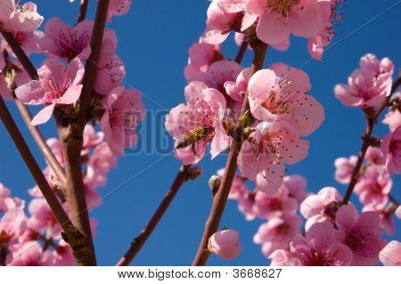 Peach Blossom On Blue Sky