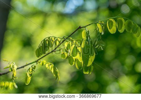 Green Leaves Of Robinia Pseudoacacia In Sunlight.