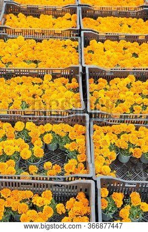 Blooms By Box. Flower Market. Marigold Farming. Market Garden. Organic Gardening. Growing For Market