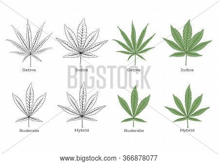 4 Grades Of Cannabis Leaf Set Sativa, Indica, Hybrid, Ruderalis. Set Of Elements For Design. Colored
