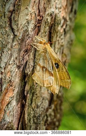 Side View Of Tau Emperor Female, A Large Yellow Moth With Tau Letter On The Wings Sitting On Brown T