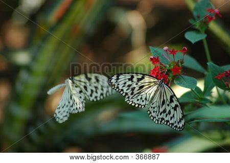 Butterflies - The Pair