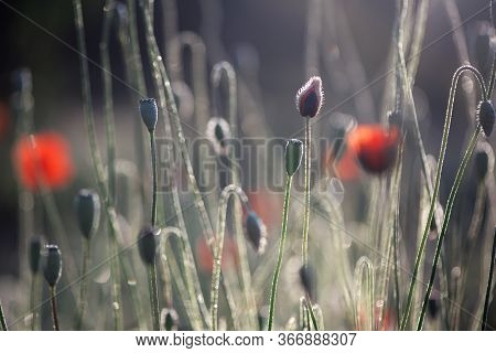 The Dominant Red.the Flower Is Odorless.poppies In The Rainbow Field Environment.contrast Colors In